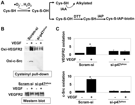 c-Src and VEGFR-2 are oxidized in VEGF-treated HCAEC in the presence of NADPH oxidase-derived ROS. (A) Schematic presentation depicting cysteinyl-labeling assay to determine oxidative modification in intracellular proteins. Non-oxidized protein thiols are alkyalated by IAA, oxidized thiols are reduced back to SH-moiety by DTT and subsequently biotinylated by IAP. Biotinylated proteins are then pulled-down by streptavidin-agarose followed by Western blots. (B) Upper panel: cysteinyl labeling assay to Identify thiol oxidation of proteins in VEGF-treated (50 ng/ml for 2 mins) HCAEC lysates using biotinylated IAP probe. HCAEC were transfected with Scram-si or si-p47 phox as indicated. After cell lysis in the presence of IAA followed by DTT treatment and IAP labeling, 1.5 mg biotinylated protein lysates were subject to immunoprecipitation using Streptavidin-agarose beads and immunoblotted using anti-VEGFR-2 and anti-c-Src antibodies. Lower panel: Western blot for VEGFR-2 using 50 µg of parallel HCAEC lysates as loading control. (B) Quantitative analyses of oxidized VEGFR-2 (upper panel) and c-Src (lower panel). Bar graph shows quantitative densitometric analysis of three independent cysteinyl labeling assays (as in A) using NIH J image (-fold change expressed in mean ± S.E.M.). * p