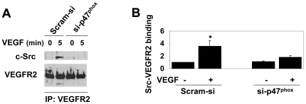 VEGF-induced interaction between VEGFR-2 and c-Src requires NADPH oxidase-derived ROS. (A) Co-immunoprecipitation (co-IP) assay using 1.2 mg protein lysates of HCAEC that were transfected with Scram-si or si-p47 phox and treated without or with VEGF (50 ng/ml for 5 min). IP was carried out using anti-VEGFR-2 antibody followed by immunoblotting using anti-c-Src (upper panel) and anti-VEGFR-2 (lower panel) antibodies. (B) Quantitative analyses of VEGFR-2-bound c-Src. Bar graphs show quantitative densitometric analysis of three independent experiments using NIH image J (-fold change expressed in mean ± S.E.M.). * p