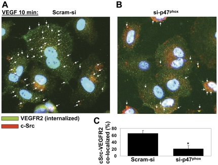 VEGF induces subcellular co-localization of c-Src and internalized VEGFR-2 in an ROS-dependent manner. HCAEC transfected with control (Scram-si) (A) or si-p47 phox (B) were immunofluorescently double labeled for internalized VEGFR-2 (green) and c-Src (red). VEGFR-2 on HCAEC was labeled with single chain E-tagged antibody (scFvA7, Fitzerald) as described in Materials and methods . After incubation with VEGF (50 ng/ml for 10 min), in order to remove the antibody from the cell surface, cells were placed on ice and acid washed. In permeabilized and fixed HCAEC, VEGFR-2 was detected with an AlexaFluor488-conjugated secondary antibody and is shown in green. c-Src was labeled with AlexaFluor647-conjugated secondary antibody (red) and nuclei with DAPI (blue). (B) Bar graphs show image analysis for colocalization events using the NIH Image J plugin (as described in Materials and methods ). The graphs present the number of colocalization events normalized for the number of total VEGFR-2–positive immunofluorescence signals. Values are the mean of three experiments ± S.E.M., each containing numbers obtained from five random fields. * p
