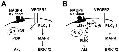 Proposed model: thiol oxidation may help propagate signal transduction from VEGFR-2 to downstream c-Src. (A) VEGF activation of VEGFR-2 and downstream PLCγ-1-ERK1/2 signaling pathway appears to be independent of ROS levels in ECs. (B) VEGF induces NADPH oxidase-derived ROS, which in turn oxidizes VEGFR-2 and c-Src. Thiol oxidation of these two tyrosine kinases appears to correlate with VEGF-induced activation of c-Src, and also with the sub-cellular colocalization and interaction between VEGFR-2 and c-Src. Dependence of VEGF-induced thiol oxidation and activation of c-Src on NADPH oxidase-derived ROS render downstream activation of PI3K-Akt redox-sensitive in HCAEC. In this model, VEGFR-2 and/or c-Src act as endothelial redox-sensors that determine whether downstream PI3K-Akt signaling pathway should be activated or not.