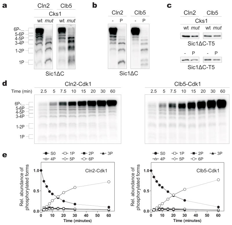The phosphoadaptor subunit <t>Cks1</t> provide processivity for the multiphosphorylation of Sic1 by Cln2-Cdk1 and Clb5-Cdk1. (a) Cln2- and Clb5-Cdk1 complexes were incubated with Sic1ΔC and 32 <t>P-ATP.</t> The reactions also included wild-type Cks1 (wt) or a version with a mutated phosphate-binding site ( mut ; see Supplementary Methods ). Phosphorylated substrates were separated using Phos-Tag SDS-PAGE gels. (b) Reactions were performed in the presence of a phosphopeptide competitor (P) based on the sequence surrounding T45 in Sic1. (c) The phosphorylation of a Sic1ΔC version containing a single Cdk site (Sic1ΔC-T5, with other Cdk consensus sites mutated to alanines) was not affected by Cks1 mut or the phosphopeptide. The standard SDS-PAGE was used. (d) Time courses of Sic1ΔC multiphosphorylation were followed by Phos-Tag SDS-PAGE. (e) The quantified data from (d). The intensities of 32 P-labeled proteins were divided by the number of phosphates as indicated to obtain the levels of different phosphoforms. In the experiments presented in Fig. 1 the enzyme concentrations were chosen to obtain roughly equal substrate labeling.