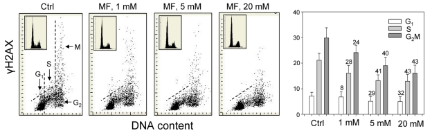 Effect of metformin (MF) on the level of constitutive γH2AX expression in A549 cells Exponentially growing A549 cells were left untreated (Ctrl) or treated with 1, 5 or 20 mM metformin for 48 h. Left panels present bivariate distributions of cellular DNA content versus intensity of γH2AX immunofluorescence (IF) detected with H2AX-Ser139 phospho-specific Ab in cells of these cultures; fluorescence of individual cells was measured by laser scanning cytometry (LSC) [ 76 ]. Based on differences in DNA content the cells were gated in G 1 , S and G 2 M phases of the cell cycle, as shown in the left panel, and the mean values of γH2AX IF for cells in each of these cell cycle phases by were obtained gating analysis. These mean values (+SD) are presented as the bar plots (right panel). The percent decrease in mean values of γH2AX expression of the metformin-treated cells with respect to the same phase of the cell cycle of the untreated cells is shown above the respective bars. The skewed dash line shows the upper level of γH2AX IF intensity for 97% of G 1 - and S- phase cells in Ctrl. The insets show cellular DNA content frequency histograms in the respective cultures.