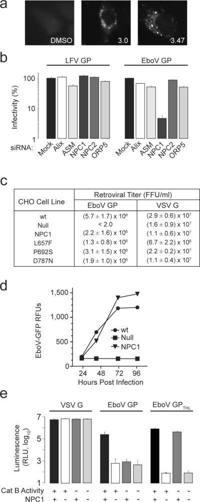 NPC1 is essential for ebolavirus infection a , HeLa cells were treated with 3.0 (20 μM), 3.47 (1.25 μM) or vehicle for 18 hours, then fixed and incubated with the cholesterol-avid fluorophore filipin. b , HeLa cells were transfected with siRNAs targeting ASM, Alix, NPC1, NPC2, and ORP5. After 72 hours, VSV EboV GP or LFV GP infection of these cells was measured as in Fig 1c . Data is mean ± s.d. (n=3) and is representative of 3 experiments. c , CHO wt , CHO null and CHO null cells stably expressing mouse NPC1 (CHO NPC1 ) or NPC1 mutants L657F, P692S, D787N were exposed to MLV particles encoding LacZ and pseudotyped with either EboV GP or VSV G. Results are the mean ± s.d. (n=4) and is representative of 3 experiments. d , CHO wt , CHO null , and CHO NPC1 cells were infected with replication competent ebolavirus Zaire-Mayinga encoding GFP (moi = 1). Results are mean relative fluorescence units ± s.d. (n=3). e , CHO wt and CHO null cells were treated with the cathepsin B inhibitor CA074 (80 μM) or vehicle. These cells were challenged with VSV G particles or VSV EboV GP particles treated with thermolysin (EboV GP THL ) or untreated control (EboV GP). Infection was measured as in Fig 1b . Data is mean ± s.d. (n=9).
