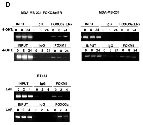 FOXO3a represses and FOXM1 induces the transcriptional activity of the human VEGF gene through a FHRE consensus site proximal to the transcription start site A) Effect of expression of FOXO3a and FOXM1 on VEGF promoter activity. Schematic representation of the VEGF-luciferase reporter construct, showing the consensus FHRE sequences. A 1741 bp VEGF promoter construct (positions −1,926 to −186 relative to the predominant 5′-transcription start site) was cloned into the XhoI and HindIII sites of the pGL3 basic vector (Promega, Southampton, United Kingdom). Putative forkhead site mutagenesis was performed using a Stratagene <t>QuikChange</t> site-directed mutagenesis kit with the oligonucleotides: Site1 (−178) (5′-ATCCCTCTTCTTTTTTCTTGGGCATTTTTTTTTAAAACTGTATTGT-3′), and Site2 (−319) (5′- TTGCTCTACTTCCCCGGGTCACTGTGGATTTTGGGGGCCAGCAGA-3′). B) MCF-7 cells were transiently transfected with 20 ng of either the wild-type, (VEGF pro-WT), mutant FHRE1 (VEGF pro-mut1), or mutant FHRE2 (VEGF pro-mut2) VEGF promoter/reporter and 0, 5, 10 or 20 ng of either the constitutively active FOXO3a(A3) or FOXM1(ΔN) expression vector. Cells were harvested 24 h after transfection and assayed for luciferase activity. All relative luciferase activity values are corrected for cotransfected Renilla activity. All data shown represent the averages of data from three independent experiments, and the error bars show the standard deviations. C) MDA-MB-231-FOXO3a(A3):ER and MDA-MB-231 cells were treated with 200 nmol/L 4-OHT for the indicated times. Nuclear extracts prepared were incubated with biotinylated wild-type or mutant FHRE2 oligonucleotides in the presence or absence of 5x molar excess of non-biotinylated wild-type or mutant FHRE2 oligonucleotides. Proteins binding to the biotinylated oligonucleotides were pulled-down using streptavidine agarose beads and analysed by western blot using specific antibodies as indicated. D) The nuclear and cytoplasmic extracts prepared from BT474 cells treated wi
