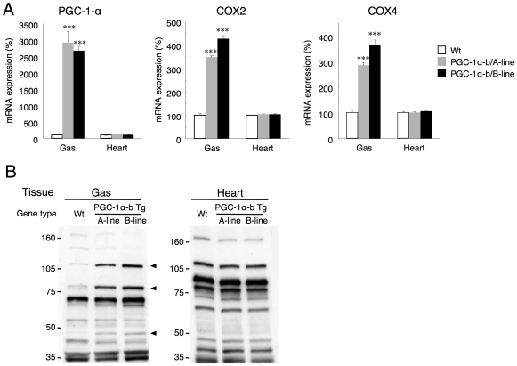 Skeletal muscle-specific expression of PGC-1α-b. (A) Total expression of PGC-1α and its target genes, COX2 and COX4, in wild-type (Wt) and PGC-1α-b mice (A line and B line) at 25 weeks of age (n = 3) was measured by quantitative real-time RT-PCR in skeletal muscle (gastrocnemius, Gas) and heart. Values are means ± SE. *** P