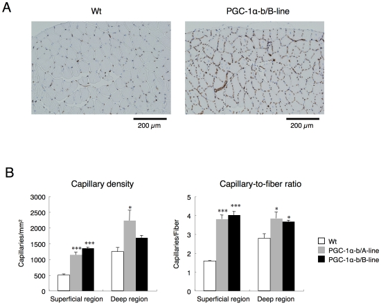 Skeletal muscle-specific expression of PGC-1α-b induced angiogenesis in skeletal muscle. (A) Transverse frozen sections of TA from wild-type (Wt) and PGC-1α-b transgenic mice at 10–11 weeks of age were immunostained for CD31 (endothelial-specific PECAM). Representative immunostains in the superficial region is shown. (B) Quantification of CD31-positive capillaries/mm 2 and capillaries per individual myofiber in superficial and deep regions (n = 3 per group). Data are presented as mean ± SE. *, P