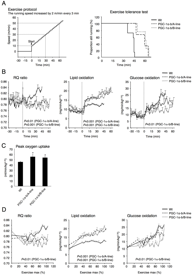 Exercise tolerance, RQ ratio, and calculated glucose and lipid oxidation rate, during exercise. (A) PGC-1α-b transgenic mice (A-line and B-line, n = 3 and 4) and wild-type littermates (Wt, n = 7) (each 8 weeks old) were exercised by forced running on a treadmill at 10 m/min. The speed increased by 2 m/min every 3 min until exhaustion. Mice ran until exhaustion (exercise tolerance test). Exercise tolerance is shown as a Kaplan-Meier survival curve. A significant difference ( P
