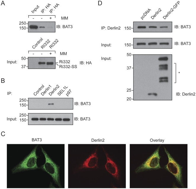 BAT3 associates with Derlin2. A. HA-Ri332 was synthesized in a rabbit reticulocyte lysate in the presence or absence of canine pancreatic microsomal membranes (MM). Following NP40-mediated lysis, Ri332 was retrieved by immunoprecipitation. The immunoprecipitate and input samples were blotted for either BAT3 or HA as indicated. B. 293T cells were subjected to NP40 lysis, followed by retrieval of the indicated proteins. Pre-immune serum served as a control. The eluates were blotted for BAT3, as were the input control samples. C. Immunofluorescence of Hela cells using antibodies against endogenous BAT3 (green) and Derlin2 (red). Scale bar = 5 µm. D. 293T cells were transiently transfected with the indicated constructs, subjected to NP40 lysis followed by an immunoprecipitation for Derlin2. Immunoprecipitates were blotted for BAT3. Input samples were blotted for BAT3 and Derlin2. The asterisk indicates non-specific polypeptides.