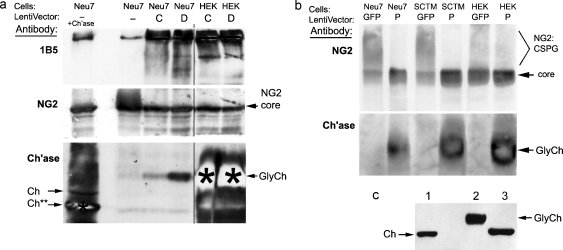 Western blots showing that active chondroitinase is secreted following transduction of tissue culture cells with the lentiviral vectors. Neu7 conditioned medium (a source of CSPGs) was placed on transfected cells for 24 h, then analyzed by western blotting. (a) LV-C and LV-D. The first two lanes are positive and negative controls with Neu7 medium not exposed to transfected cells; lane 1 was digested in vitro with commercial chondroitinase (Sigma, 20 mU, 37°, 3 h). (Top panel) Probed for carbohydrate 'stub' epitope produced by chondroitinase action (antibody 1B5). Neu7 conditioned medium (lane 2) shows little immunoreactivity, but incubation with cells after transduction with LV-ChABCs generates extensive reactivity. (Middle) Probed for NG2. Undigested NG2 (lane 2) appears largely as a characteristic 'smear' above the core protein band due to the heterodispersed high-Mr GAG chains, and this is all converted to core protein by digestion with commercial chondroitinase (lane 1) or by incubation with cells after transduction with LV-ChABC. (Bottom) Probed for chondroitinase ABC. Commercial chondroitinase (lane 1) shows both full-length band (Ch) and a shorter band (Ch**) due to proteolytic activity during incubation with medium. LV-ChABC all generate a diffuse chondroitinase band (GlyCh: partially glycosylated): this migrates more slowly than bacterial chondroitinase, confirming that it has some glycosylation at sites which were not mutated. Some lanes are overexposed as the experiment was principally intended to detect digestion of CSPGs; also see (c). Black bar or star indicates intense bands which partially bleached during imaging. (b) LV-GFP (control) and LV-P. (Top) Probed for NG2; the high-Mr smear due to GAG chains (marked NG2:CSPG), whose distribution varies according to cell type, is all reduced to core protein following LV-P transduction. (Bottom) Probed for chondroitinase ABC. (c) Confirmation of chondroitinase secretion. (1) Commercial chondroitinase (Sigma);