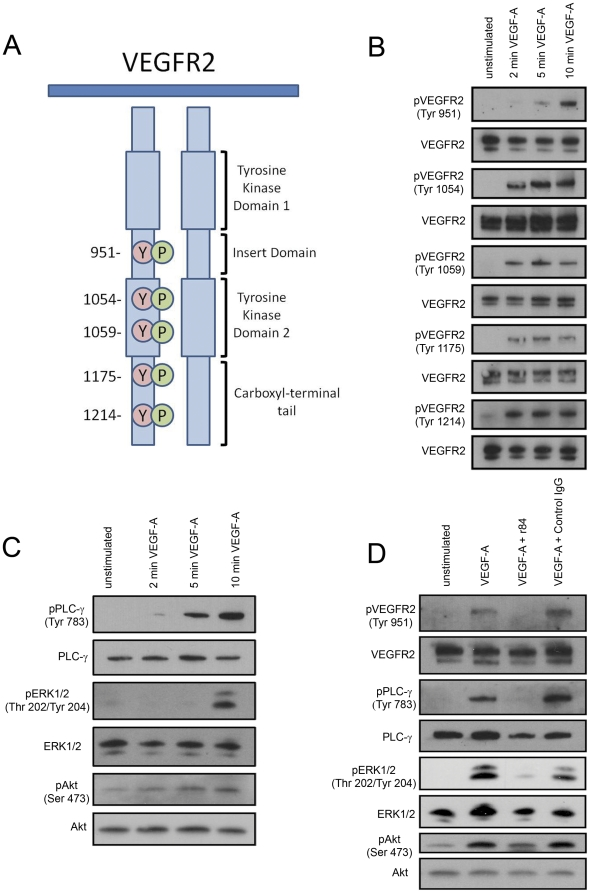 VEGFR2, not VEGFR1, regulates VEGF-A-induced activation of PLC-γ, ERK1/2, and Akt in LECs. A : Diagram adapted from [43] depicting phosphorylation sites of the intracellular domain of VEGFR2. B,C : Lysates of primary human dermal LECs were made after stimulating LECs with recombinant human VEGF-A (100 ng/ml) for 2, 5, or 10 minutes. The activation of VEGFR2, PLC-γ, ERK1/2 and Akt was detected by Western blotting using phospho-specific antibodies. D : Lysates were generated of LECs stimulated with VEGF-A (100 ng/ml, 10 minutes) in the presence or absence of r84 (500 molar excess) or control IgG (500 molar excess). The activation of VEGFR2, PLCγ, ERK1/2 and Akt was detected by Western blotting. r84 suppressed phosphorylation of PLC-γ, ERK1/2, and Akt in LECs.