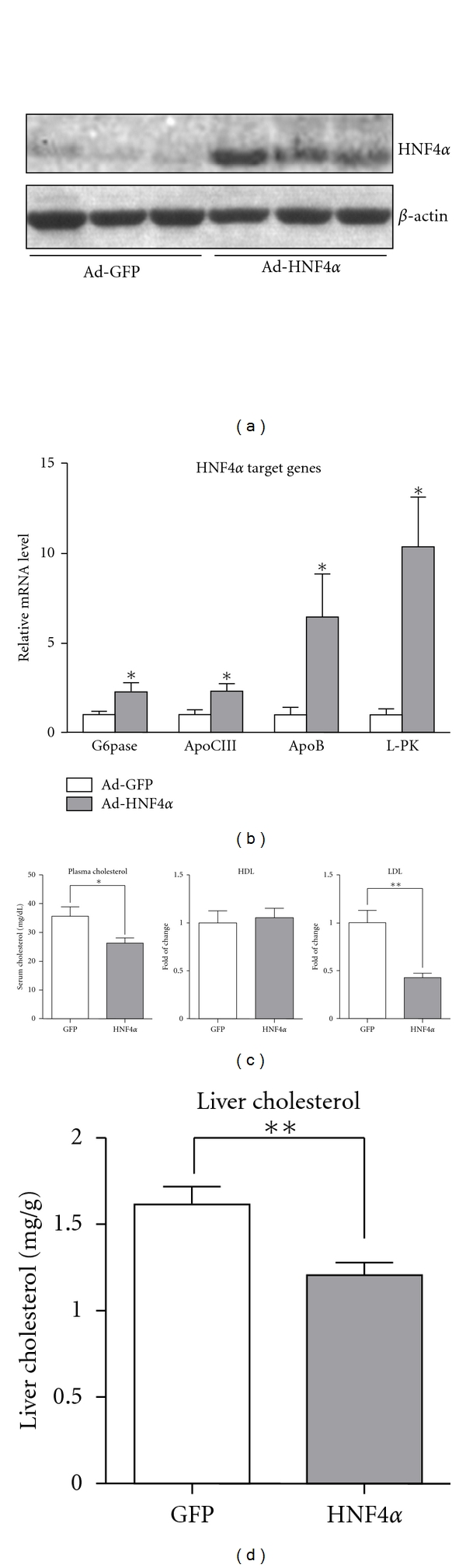 Hepatic overexpression of HNF4 α  in rats decreased cholesterol levels in both plasma and liver. Rats were intravenously injected with Ad-HNF4 α  or Ad-GFP ( n  = 6), then killed 7 days post-infection. (a) Liver extracts were used to determine protein expression by western blot analysis with antibodies against HNF4 α  or  β -actin. (b) Relative mRNA levels of hepatic HNF4 α  target genes, including G6p, Apoc3, Apob, and L-pk, were examined by qPCR. (c) Plasma cholesterol, high-density lipoprotein cholesterol (HDL-C), and low-density lipoprotein cholesterol (LDL-C) levels were determined. (d) Liver cholesterol was  measured in lipid content of rat liver. Data are mean ± SEM, * P