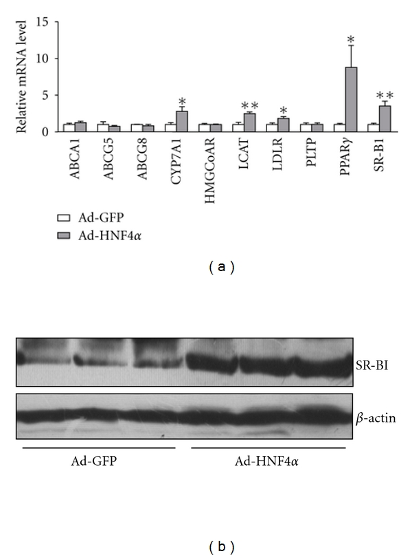 Expression pattern of hepatic cholesterol-regulatory genes under HNF4 α  overexpression in rat liver. (a) Total RNA was extracted from rat liver and the mRNA levels of hepatic cholesterol-regulatory genes, including HMGCoAR, LCAT, PLTP, LDLR, SR-BI, ABCA1, ABCG5, ABCG8, and CYP7A1, were measured by qPCR. Data are mean ± SEM mRNA levels normalized to that of  β -actin and expressed as fold of GFP-infected group. * P