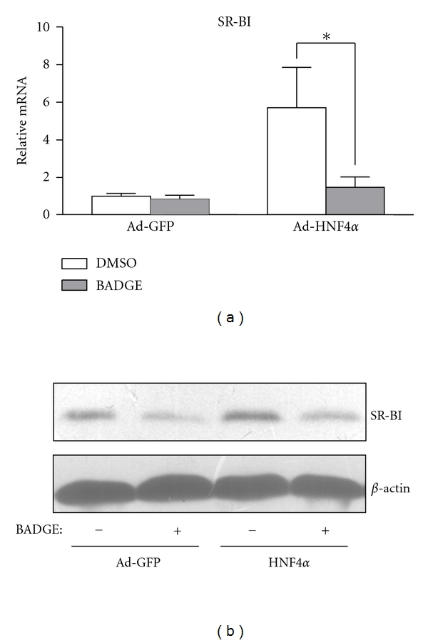 HNF4 α -upregulated SR-BI depends on PPAR γ . Rat primary hepatocytes were pretreated with or without PPAR γ  antagonist BADGE (10 μ M) for 30 min and then infected with Ad-HNF4 α  or Ad-GFP. (a) Real-time PCR analysis of mRNA expression and (b) western blot analysis of protein expression from 3 independent experiments.  β -actin was used as an internal control. Data are mean ± SEM mRNA levels normalized to that of  β -actin and expressed as fold of control group. * P
