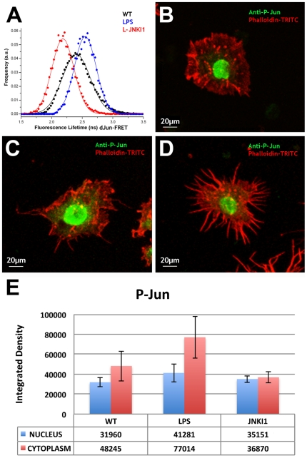 FRET-FLIM quantification of dJun-FRET biosensor is a readout of the activity of the JNK pathway in response to chemical agonists and antagonists. S2R+ cells were transiently transfected with dJun-FRET (A) biosensor, and fluorescence lifetimes (FL) of mCFP were collected 48 hours post transfection. Cells were left untreated (black) or subjected to treatment with LPS, a JNK signaling activator (red) or L-JNKI1, a JNK inhibitor (blue) for 2 hours before FLIM measurements. Curves represent FLIM data recorded from ∼75 cells for each condition. The chemical activator and inhibitor modulated the donor FL of dJun-FRET, while no effect was observed on the controls. A direct measurement of sensor activity on S2R+ cells plated on plastic was performed. Untreated cells (B) or those treated with LPS (C) or L-JNKI1 (D) were stained with anti-Phospho-c-Jun antibody and phalloidin-TRITC. P-Jun staining was quantified by calculation of the average integrated density (the product of Area and Mean Gray Value) of ∼100 cells (nucleus and cytoplasm) (E). LPS treatment led to morphological changes in S2R+ cells (from a pseudopolygonal flat shape to a filopodia-rich compacted aspect) and a statistically significant (p