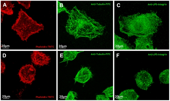S2R+ cells respond to mechanical stress by changing their morphology and altering their cytoskeletal network. S2R+ cells plated on collagen-coated silicone membranes showed a polygonal shape with actin rich stress fibers and lamellipodia at their periphery (A) and distinctly arranged long microtubules spreading out and intermingling in the center (B). Anti- β-integrin antibodies show high expression at the periphery and dispersed cytoplasmic distribution (C). Upon subjecting cells to static stretch for 1 hour, S2R+ cells rounded up showing spotty cytoplasmic polymerized actin (D), short and diffuse microtubules (E) and punctate expression of β-integrin (F). Red - Phalloidin-TRITC; green - anti-Tubulin-FITC and anti- β-integrin antibodies.