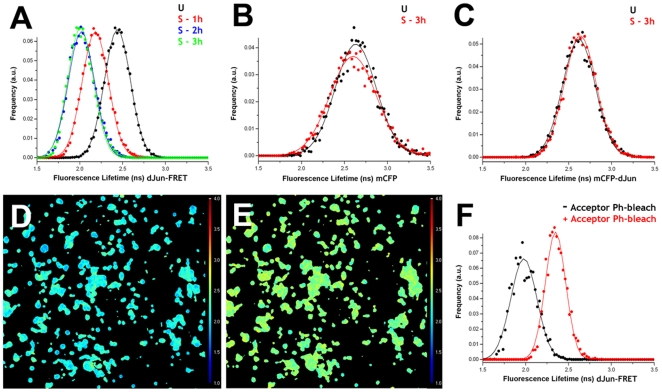 Mechanical stress activates the JNK pathway. S2R+ cells transiently transfected with dJun-FRET biosensor (A) or the controls mCFP alone (B) and mCFP-dJun (C) were plated on collagen-coated silicone membranes on a Stage Flexer set up. Donor mCFP FL was collected before stretching (black) and at different times after continuous static stretch (1 hour-red in A, 2 hours-blue in A, and 3 hours-green in A and red in B and C). dJun-FRET sensor activity increased upon stretching, reaching a maximum after 2 hours. FL of controls was not affected. Donor mCFP FL from a specific region of interest containing ∼15–30 cells were collected after 3 hours of mechanical stretch (D). Thereafter, the acceptor mYFP was photobleached (95%) and donor mCFP FLs were re-collected (E). Panel F shows the donor mCFP FL histograms for the dJun-FRET biosensor before (black) and after (red) acceptor (mYFP) photobleaching. Altogether, these data showed that FL changes observed after mechanical stretch can be attributed directly to energy transfer between the donor and acceptor fluorophores in the dJun-FRET biosensor.