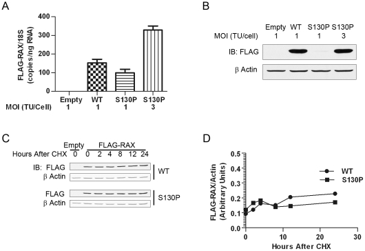 Reduced ectopic expression of RAX (S130P) in L929 cells. A RAX mRNA levels: Realtime RT-PCR analyses were used to determine the levels of FLAG-RAX mRNA relative to 18S rRNA using RNA samples isolated from the indicated cells. B RAX protein levels: FLAG western blot of L929 cells infected with empty lentivirus, or lentivirus encoding a provirus to ectopically express FLAG-RAX or FLAG-RAX (S130P) at the indicated MOI. Three times more virus was required for FLAG-RAX (S130P) to achieve protein levels comparable to WT. C RAX turnover analyses: Cells were treated with cycloheximide to inhibit de novo protein synthesis, cells lysates were prepared at the indicated time points and protein levels were measured by Odyssey quantitative western blot of FLAG- RAX and FLAG-RAX (S130P) using actin as the internal control. D Normalized levels of RAX: FLAG-RAX signal was normalized to that of actin and plotted at the indicated times following cycloheximide treatment.