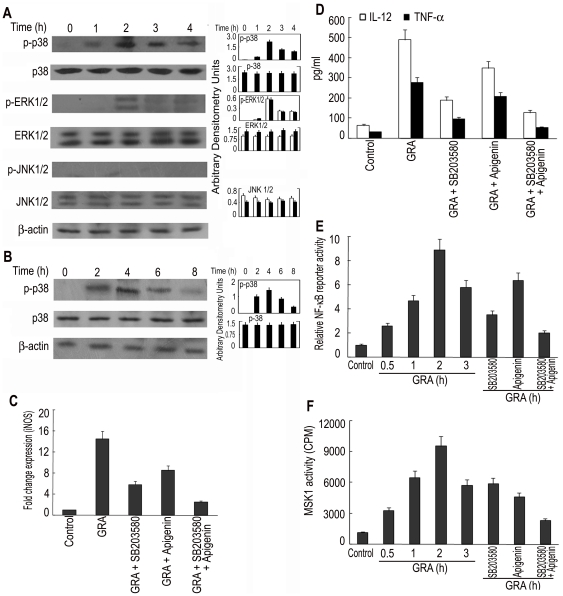 Effect of GRA on the regulation of iNOS and Th1 cytokine by MAPK activation. ( A ) BMDM were treated with GRA (20 µM) for different time periods. The expression and phosphorylation of MAPKs were detected by Western blotting. ( B ) L. donovani -infected BMDM were treated with GRA (20 µM) for various time periods and the level of phosphorylated p38 was measured by Western blotting. ( C and D ) BMDM were treated (1 h) with either SB203580 (30 µM) or apigenin (40 µM) or both before stimulation with GRA (24 h). iNOS expression ( C ) by Taqman analysis and levels of IL-12 and TNF-α ( D ) by ELISA were determined. ( E ) RAW 264.7 cells were transiently transfected using Lipofectamine reagent with 1 µg of NF-κB luciferase reporter vector along with 0.5 µg pcMV-βgal. After 24 h, cells were stimulated with GRA (20 µM) for different time periods. In a separate set of experiment, transfected cells were pre-incubated with either SB203580 (30 µM) or apigenin (40 µM) or both for 1 h before stimulation with GRA (12 h). Cells were lysed and processed for luciferase activity. ( F ) BMDM were treated with GRA (20 µM) for different time periods or pre-incubated with either SB203580 (30 µM) or apigenin (40 µM) or both for 1 h before stimulation with GRA (2 h). Cell lysates were then immunoprecipitated with anti-MSK1 Ab and MSK1 activity was assayed using CREBTIDE as substrate. Bands were analyzed densitometrically. Error bars represent mean ± SD (n = 3). The data shown are representative of three independent experiments. ns, not significant; * p