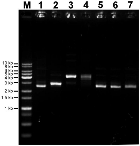 Preparation of plasmid samples. Lane M: 1 kb ladder DNA marker. Lane 1: S, supercoiled plasmid sample. Lane 2: L, linear plasmid sample (SspI treated). Lane 3: N, nicked-circular plasmid sample (Nt.BspQI treated). Lane 4: C, closed-circular plasmid sample (topoisomerase I treated). Lane 5: S-LB, supercoiled plasmid treated with SspI reaction buffer. Lane 6: S-NB, supercoiled plasmid treated with Nt.BspQI reaction buffer. Lane 7: S-CB, supercoiled plasmid treated with topoisomerase I reaction buffer.