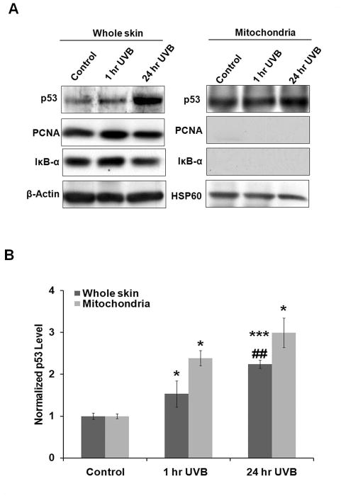 UVB enhances <t>p53</t> mitochondrial translocation (A) C57BL/6 mice were exposed to 5kJ/m 2 of UVB radiation. Whole skin tissue lysates and fractionated mitochondrial lysates were immunoblotted for p53 antibody (DO-1). Ponceau staining was used to confirm equal loading and uniform transfer of protein. Monoclonal anti-β-actin and anti-HSP60 antibodies were used as internal loading control. (B) The p53 accumulations in whole skin lysates and mitochondrial lysates at 1 hr and 24 hr after UVB exposure were quantified. Results were averaged from 3 sets of independent experiments. *P