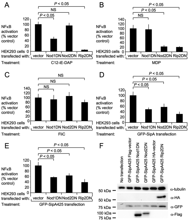 SipA-mediated NF-κB activation requires both NOD1 and NOD2 in vitro . (A to C) HEK293 cells were transfected with the NF-κB luciferase reporter construct and hNOD1DN, hNOD2DN, hRIP2DN, or vector only and stimulated with 1 µg/ml C12-iE-DAP (NOD1 ligand) (A), 10 µg/ml MDP (NOD2 ligand) (B), and 100 ng/ml purified flagellin (C). (D and E) HEK293 cells were cotransfected with the NF-κB luciferase reporter construct and GFP-SipA (D) or GFP-SipA425 (E) and hNOD1DN, hNOD2DN, hRIP2DN, or vector only. Data are expressed as percent NF-κB inhibition, where 100% was set to be the response in the cells transfected with vector only. Values represent the means ± standard errors of at least three independent experiments. Brackets indicate the statistical differences. NS, not significant. (F) Western blot analysis of HEK293 cells expressing GFP-tagged SipA425 and Flag-tagged hNOD1DN, Flag-tagged hNOD2DN, HA-tagged hRIP2DN, or vector only. Cotransfection did not influence the expression of GFP-SipA425.