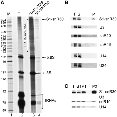Selective purification of S1-tagged snR30 snoRNP. One-step (A and B) or two-step (C) purifications were done with extracts prepared from the S1-SNR30 strain grown in YPD. ( A ) 3′-End labeling analysis of recovered RNAs. Labeled RNAs from the extract (T), Gar1-TAP IP and S1-snR30 purification were analyzed. Radiolabeled DNA markers (M) were run in parallel. S1-snR30, H/ACA snoRNAs, 5.8S and 5S rRNAs, and tRNAs are indicated. ( B ) Northern blots of RNAs recovered from one-step purification: extract (T), streptavidin flow through (S) and eluate (P). ( C ) Northern blots of RNAs recovered from two-step purification: extract (T), IgG flow through (S1), IgG eluate (P1) and streptavidin eluate (P2). For B and C, snoRNAs analyzed are indicated on the right of each panel.