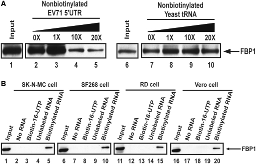 FBP1 associates with EV71 5′-UTR. ( A ) FBP1 association with EV71 5′-UTR was confirmed by competition assay and western blot. The biotinylated RNA association proteins were loaded to SDS–PAGE (12%). FBP1 antibody was utilized in this western blot. Various amounts of unlabeled EV71 5′-UTR and yeast tRNA RNA probe were added to compete with the biotinylated EV71 5′-UTR probe interacting with FBP1 in RD cell lysate. Lanes 1 and 6 contained cell lysate (200 µg) only. An unlabeled EV71 5′-UTR RNA probe was used in the competition assay (lanes 3–5), and an unlableled yeast tRNA probe was utilized (lanes 8–10). ( B ) EV71 5′-UTR associates with cellular protein FBP1 in the various cell lines, SK-N-MC, SF268, RD and Vero cell. Cell lysates are shown in lanes 1, 6, 11 and 16. Various cell extracts were incubated in the absence of RNA (lanes 2, 7, 12 and 17) or in the presence of <t>biotin-16-UTP</t> only (lanes 3, 8, 13 and 18), non-biotinylated EV71 5′-UTR (lanes 4, 9, 14 and 19) or biotinylated EV71 5′-UTR (lanes 5, 10, 15 and 20). After the streptavidin beads were washed, the EV71 5′-UTR associated proteins were detected using SDS–PAGE (12%). FBP1 protein was analyzed by western blot with anti-FBP1 cellular protein antibody.