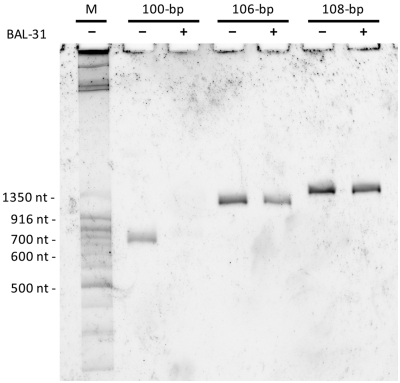 DNA minicircles with 100, 106 and 108 bp, their purity and their susceptibility to Bal31 digestion. In a 10% denaturing PAGE gel (7 M urea), the denatured linear DNA fragments used as a marker, migrate much quicker than circular, covalently closed DNA minicircles in which the two strands cannot separate in space. Notice the presence of only one topoisomer in each category of minicircles and the sensitivity of minicircles with 100 bp to Bal31 nuclease.