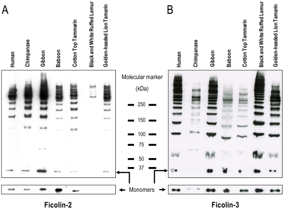 Oligomerization pattern of primate ficolin-2 and ficolin-3 was evaluated by SDS-PAGE subjected to western blot. Samples were analysed by SDS-PAGE on 3–8% Tris-actetate gels under non-reduced and reduced conditions subjected to western blot and detected with (A) mono- and polyclonal anti-ficolin-2 or (B) mono- and polyclonal anti-ficolin-3. Arrows show the multimers and monomers of the ficolins.