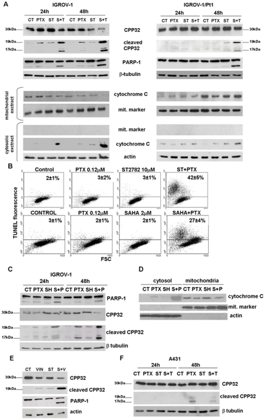 Induction of apoptosis and analysis of apoptosis-related factors in IGROV-1 and IGROV-1/Pt1 and A431 cells exposed to the IC 50  PTX or vinorelbine (VIN) or ST2782 (ST) or SAHA or their combination. A) Cleavage of caspase 3 (CPP32) and PARP-1 and cytochrome C release. Western blot analysis was performed after 24 h exposure to drug concentrations used in experiments of   Fig. 2A . β-Tubulin is shown as a control of protein loading. Release of cytochrome C was examined in cytosolic and mitochondrial extracts, prepared after 24 h exposure. B) Apoptosis determined by TUNEL assay after 72 h of treatment (ST2782 10 µM, PTX 1.2 µM and SAHA 10 µM). The percentages of TUNEL-positive cells are indicated in each panel. One representative experiment of at least three is shown. The results, expressed as percentage of TUNEL-positive cells, represent the mean±SD of three independent experiments. C) Cleavage of CPP32 and PARP-1 in IGROV-1 cells treated with SAHA and/or PTX to the same concentrations used for TUNEL assay. D) Analysis of cytochrome C release in cytosol and in mitochondrial extract prepared after 48 h exposure to PTX or SAHA alone or their combination in IGROV-1 cells. E) Cleavage of CPP32 and PARP-1 in IGROV-1 cells treated with vinorelbine (0.047 µM) or ST2782 (10 µM) alone or in combination. F) Cleavage of CPP32 in A431 cells treated with ST2782 (ST, 3 µM) or PTX (0.0035 µM) alone or in combination. β-Tubulin is shown as a control of protein loading when whole-cell lysates are used. The size of CPP32 and of their cleavage products are indicated. An antibody against a mitochondrial marker and an antibody against actin were used as protein control to ensure a correct subcellular fractionation process.