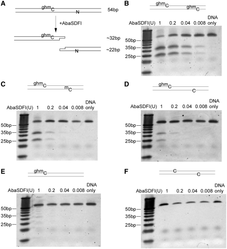 Activity of AbaSDFI on synthetic oligonucleotides with different modified recognition sites. ( A ) Expected digested fragments from AbaSDFI digestion. Sequences of the oligonucleotide can be found in Supplementary Table S4 ; ( B ) Activity of AbaSDFI on the synthetic oligonucleotide with two 5ghmC, separated by 21 nt; 5 pmol of DNA substrate was digested using a titration of AbaSDFI and resolved on a 20% polyacrylamide PAGE. The gel was stained with SYBR Gold. ( C ) Activity of AbaSDFI on the synthetic oligonucleotide with one 5ghmC and one 5mC; ( D ) activity of AbaSDFI on the synthetic oligonucleotide with one 5ghmC and one C; ( E ) activity of AbaSDFI on the synthetic oligonucleotide with only one 5ghmC and no cytosine in the region 20–25 nt away ( Supplementary Table S4 ); ( F ) activity of AbaSDFI on the synthetic oligonucleotide with two unmodified C [compare with substrate in (D)].