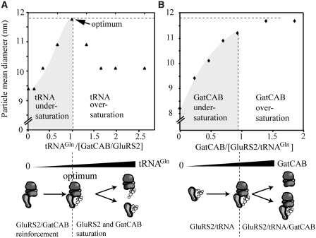 Stoichiometry of the GluRS2/tRNA Gln /GatCAB complex. ( A ) Titration curve of a 1/1 mix of GluRS2 and GatCAB (20µM each) with tRNA Gln  in molar ratios of 0.2–2.7. ( B ) Titration of a 1/1 mix of GluRS2 and tRNA Gln  (20µM each) with free GatCAB in molar ratios of 0.3–2.0.