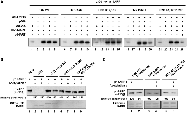 Regulation of p14ARF function by H2B–K20 acetylation. ( A ) Antagonistic effects of H2B–K20 acetylation on p14ARF transcriptional repression. Transcription assays were performed as in Figure 1 D, but p300 was added to the reactions before p14ARF. Chromatin templates contain wild-type (WT) (lanes 1–5) or lysine-mutated (K5R, K12, 15R, K20R and K5, 12, 15, 20R) (lanes 6–25) H2B proteins. ( B ) Antagonistic effects of K20 acetylation on H2B tail–p14ARF interaction. Flag-tagged p14ARF was tested for binding to GST (lanes 2 and 3) or GST-fused wild-type (WT) or lysine-mutated (K5R, K12,15R, K20R and K5,12,15,20R) H2B tails (lanes 4–9). Lane 1 shows 25% of p14ARF used in the binding reactions. Experiments were repeated three times with comparable results. Data were quantitated by phosphoimager analysis. ( C ) Antagonistic effects of H2B–K20 acetylation on nucleosome-p14ARF interaction. Mononucleosomes containing wild-type (WT) or mutant (K20R and K5,12,15,20R) H2B were reconstituted on biotinylated 207 bp G5ML fragments and immobilized on Streptavidin agarose beads. Flag-tagged p14ARF was incubated with the nucleosomes containing wild-type (lanes 1 and 2) or mutant (lanes 3–6) H2B, and p14ARF binding was determined by immunoblot analysis using anti-Flag antibody. Data were quantitated by phosphoimager analysis, and similar results were obtained in two independent binding experiments.