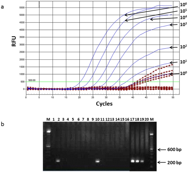 Contamination of commercial <t>AMV</t> reverse transcriptases (RT) with MLV sequences. A. Representative real-time, generic MLV protease ( pro ) amplification plot. Blue lines, XMRV RNA standard extracted from 22Rv1 cell culture supernatants from 10 6 –10 0 copies per reaction; burgundy lines with triangles, 4/16 (25%) water only controls tested positive for MLV pro sequences using the ABI TaqMan Fast 1-step Master Mix; bright green line, RFU, relative fluorescent units. B. Representative gel image showing nested PCR detection of 208-bp MLV polymerase ( pol ) sequences in water only control reactions using <t>Finnzymes</t> RobustI AMV RT. Lanes 1–16, water only controls; lanes 17–20, XMRV RNA extracted from 22Rv1 cell culture supernatants from 10 3 , 10 2 , and 10 copies per reaction, respectively; M. molecular weight marker.