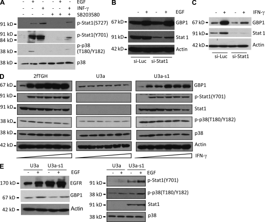Stat1 is not required for EGFR-mediated GBP1 expression. (A) U87-EGFR cells were pretreated with 20 µM SB203580 for 1 h and then exposed to 100 ng/ml EGF or 100 ng/ml IFN-γ for 30 min before Western blot analysis. Total p38 is shown as a loading control. (B and C) U87-EGFR cells were transfected with Stat1 siRNA (si-stat1) or the control siRNA (si-Luc) before 20 ng/ml EGF (B) or 20 ng/ml IFN-γ treatment (C) for 24 h, and GBP1 expression was analyzed by Western blot. Data are representative of two independent experiments. (D) Stat1-null U3a cells are derived from parental 2fTGH cells. U3a-S1 cells are U3a cells reconstituted for Stat1. The cells were treated with 0, 5, 10, 20, 50, or 100 ng/ml IFN-γ for 24 h before Western blot analysis. (E) U3a and U3a-s1 cells transduced with EGFR were treated with 20 ng/ml EGF for 24 h before Western blot analysis. Data are representative of two independent experiments.