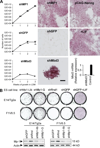 Knockdown of Mp1 in E14T ES cells resembles Nanog overexpression or growth in the presence of LIF. (A) Growth curves (left) of ES cells infected with shMp1, the negative control shGFP, or the positive control shMbd3 when grown in LDM for 3 wk. After 3 wk, colonies were stained for AP. Additional positive controls were transfection with pCAG-Nanog or addition of LIF. Knockdown of Mbd3, as measured with qPCR, is shown below the Mbd3 growth curve. (B) AP staining shows that knockdown of Mp1 in two other ES cell lines, E14/Tg2a and F1V6.5, inhibits differentiation when these cells were grown in LDM for 2 wk. Knockdown was performed using the shRNA identified from the library (shMp1-Lib) and an additional shRNA indicated by shMp1-G. Negative controls were shGFP and a shRNA containing a random sequence (shRnd1). Western blot analysis shows the knockdown levels of Mp1 in these cell lines (right). Data represent at least two independent experiments. Error bars, standard deviation. Bar, 100 µm.