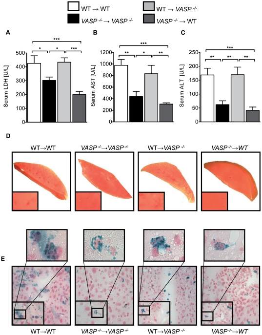 Hematopoietic VASP repression reduces hepatic IR injury. A ) LDH-serum levels in chimeric animals ( VASP −/− →WT and WT→ VASP −/− ) and control transplanted animals after 30 minutes of hepatic ischemia followed by 3 hours reperfusion. B ) Correlating serum levels of AST and C ) ALT of the chimeric and control animals D ) Representative TTC stained liversections of ischemic tissue. E ) Representative histological images of infracted hepatic areas of infiltrated platelet-neutrophil complexes (neutrophil = blue; platelets = black) of chimeric animals ( VASP −/− →WT and WT→ VASP −/− ) and control transplanted (WT→WT and VASP −/− → VASP −/− ) animals (Data are shown as Mean ± SEM, n = 6, * P