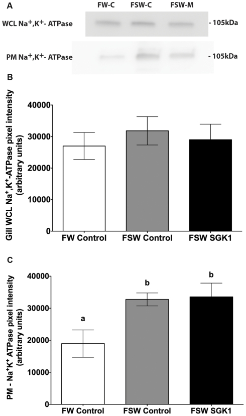 Na + , K + -ATPase protein levels in gill of fish injected with SGK1 vivo-morpholino. Freshwater acclimated fish were injected with 14 µg/g SGK1 or control vivo-morpholino. Four hours after injection fish were transferred to seawater for 1 h. The increase in plasma membrane Na + , K + -ATPase in seawater fish compared to freshwater fish was not due to differences in contamination of the membrane preparation by cytosolic proteins, since the amount of Rab4a in each preparation was minimal, and equivalent in all membrane preparations (see Figure 4A ). A : Representative Western blot of Na + , K + -ATPase. B : Summary of Na + , K + -ATPase WCL protein levels. C : Summary of Na + , K + -ATPase PM protein levels. n = 4. Different letters indicate statistically significant treatment means p
