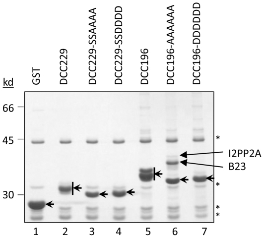 GST co-purification and MS analysis. HEK293T cells were transfected with the indicated GST-DCC fusion constructs. GST fusion proteins (short arrows) were purified from RNase A-treated lysates using GSH affinity resin. Co-purifying proteins were resolved by SDS-PAGE and detected by CB staining. Protein bands of interest were excised, subjected to in-gel trypsinization, and identified by mass spectrometry (long arrows). *, non-specific background bands that appeared in all samples, including GST alone.