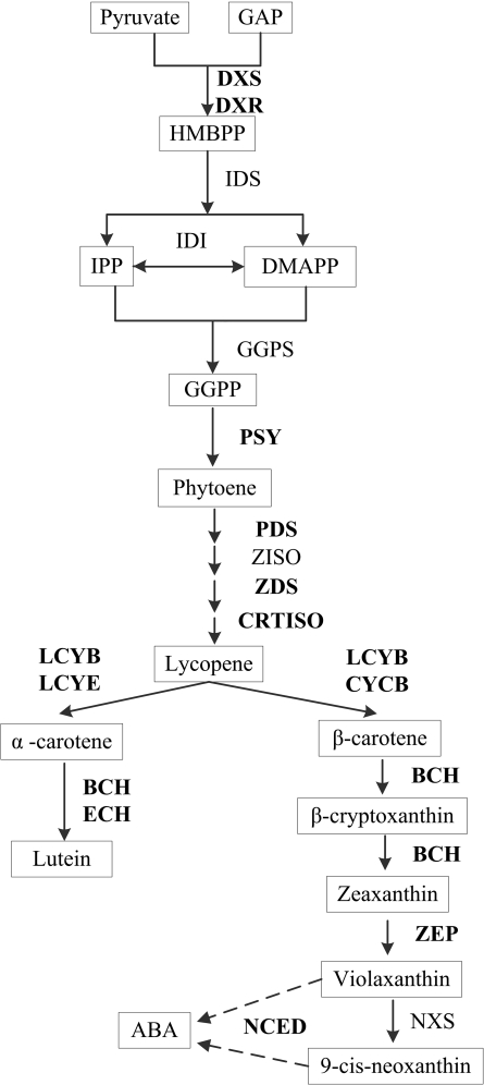 Carotenoid biosynthetic pathway in higher plants. Genes with expression levels studied are in bold letters. GAP, D-glyceraldehyde 3-phosphate; DXS , 1-deoxy-D-xylulose 5-phosphate-synthase; DXR , DXP reductoisomerase; HMBPP, (E)-4-hydroxy-3-methylbut-2-enyl diphosphate; IDS, isopentenyl pyrophosphate synthase; IPP, isopentenyl pyrophosphate; DMAPP, dimethylallyl diphosphate; IDI , isopentenyl pyrophosphate isomerase; GGPS , geranylgeranyl diphosphate synthase; GGPP, geranylgeranyl diphosphate; PSY1 , phytoene synthase; PDS , phytoene desaturase; ZDS , ζ-carotene desaturase; CRTISO , carotene isomerase; ZISO , ζ-carotene isomerase; LCYE , lycopene ε-cyclase; LCYB , lycopene β-cyclase; CYCB , chromoplast-specific lycopene β-cyclase; BCH , β-carotene hydroxylase; ECH , ε-carotene hydroxylase; ZEP , zeaxanthin epoxidase; VDE , violaxanthin de-epoxidase; NSY , neoxanthin synthase; NCED , 9- cis -epoxycarotenoid dioxygenase.