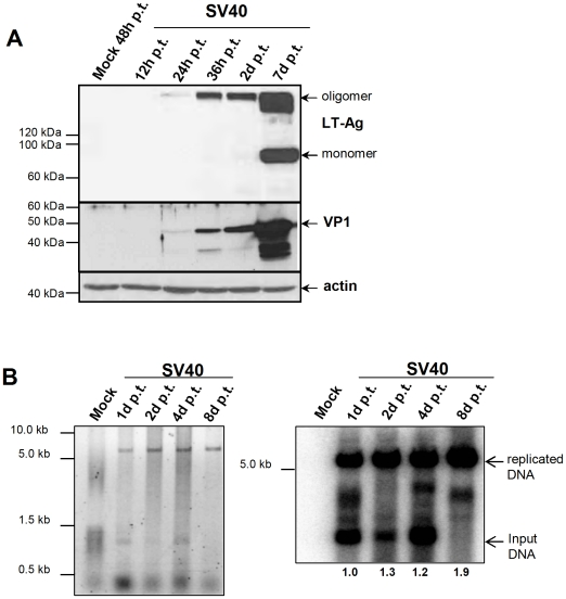 SV40 replication and gene expression in CV-1 cells transfected with SV40 DNA. (A) 100 ng of intramolecular religated SV40 viral DNA was transfected in CV-1 cells and cells were lysed 12 h, 24 h, 36 h, 2d and 7d post transfection. Protein lysates were subsequently analyzed for SV40 LT-Ag (Pab419 antibody) and VP1 expression (α-VP1 polyclonal rabbit serum) by SDS-page and Western Blotting. Staining of actin was used to ensure that equal protein amounts were loaded per lane. (B) Low molecular weight DNA was isolated from SV40 DNA transfected CV-1 cells at the indicated time points by HIRT extraction, 1 µg DNA was DpnI and EcoRI digested; DNA was separated on an agarose gel and stained with EtBr (left panel), followed by southern blotting and detection of viral DNA using a 32 PdCTP-labeled SV40 LT-Ag PCR fragment as a probe. The blot was exposed for 30 min. Numbers below the lanes correspond to the quantification of newly replicated DNA using a Fuji phosphoimager FLA7000 and MultiGauge software.