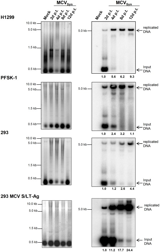MCVSyn replication assays in H1299, PFSK-1 and 293 cells. 5 µg low molecular weight DNA isolated from cell cultures at the indicated time points post-transfection with MCVSyn DNA was digested with DpnI and EcoRI, separated on an agarose gel and stained with EtBr (left panels), then transferred via southern blot and probed with a radioactively labelled LT-Ag PCR fragment [13] . The blot was exposed for 24 h and scanned using a Fuji phosphoimager FLA7000; MultiGauge software was used for quantification.