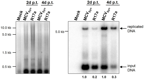 R17a replication in PFSK-1 cells. 2 µg low molecular weight DNA from PFSK-1 cells transfected with MCVSyn or R17a viral DNA was EcoRI and DpnI digested and separated on an agarose gel, followed by EtBr staining (left panel). The DNA was transferred via southern blotting and probed with a radioactively labelled LT-Ag PCR fragment (right panel). The blot was exposed for 24 h.