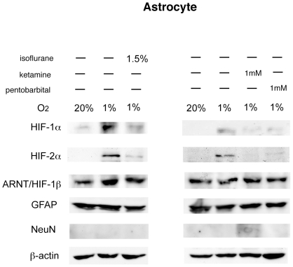 Expression analysis of HIF-1α, HIF-2α, and ARNT protein in primary cultured astrocytes by immunoblotting. Primary cultured astrocytes were incubated under hypoxic (1% O 2 ) conditions with or without 1.5% isoflurane, 1 mM pentobarbital, or 1 mM ketamine for 4 hours. Whole cell lysates were analyzed for HIF-1α, HIF-2α, ARNT, GFAP, NeuN and β-actin protein expression by immunoblot assay. Figures are representative of at least three independent experiments.