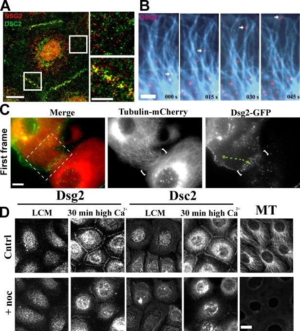 Desmosomal cadherins require MTs for rapid accumulation at intercellular junctions. (A) Dual-label immunofluorescence revealed that Dsg2 and Dsc2 colocalize at cell–cell junctions but are present in separate cytoplasmic vesicles. Boxes indicate areas of magnification on the right. (B) Cells coexpressing Dsg2-GFP and tubulin-mCherry (blue) were imaged at 5-s intervals ( Video 2 ). Dsg2-containing vesicles move along MTs toward the plasma membrane. (C) Contacting cells expressing Dsg2-GFP and tubulin-mCherry were imaged at 5-s intervals. Video 3 shows the cropped area in the left image. White brackets indicate cell–cell contact. Green track shows the path taken by a Dsg2-containing vesicle to the contact site. (D) Scc9s were switched to low-calcium medium (LCM) for 2 h before incubation with nocodazole for 1 h in low-calcium medium and then switched to normal Ca 2+ (with or without nocodazole) for 30 min to trigger junction assembly. Cytoplasmic Dsg2 and Dsc2 vesicles are present in control (Cntrl) and nocodazole (noc)-treated cells in low-calcium medium. Disruption of MT delays Dsg2 and Dsc2 assembly at newly forming cell–cell interfaces. Bars: (A [left] and D) 20 µm; (A [right] and C) 10 µm; (B) 5 µm.