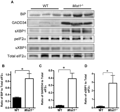 Mist1 −/− pancreatic tissue exhibits increased activation of the UPR. ( A ) Western blot analysis of key UPR markers in 2 month old WT and Mist1 −/− whole pancreatic lysates. Mist1 −/− extracts show significantly increased accumulations of BiP/GRP78 ( B ), GADD34 ( C ) and sXBP1 ( D ), but not peIF2α (p = 0.743) or uXBP1 (p = 0.532) relative to WT pancreatic tissue. *P