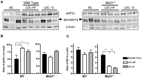 High fat and ethanol diets activate PERK signaling in pancreatic acinar cells. ( A ) Western blotting analysis for peIF2α, BiP/GRP78 (upper band) or β-actin (as a control) in pancreatic tissue of WT or Mist1 −/− mice fed breeder's chow (BC) or LDC-E or LDC-HF diets for 6 weeks. Quantitative analysis of peIF2α ( B ) or BiP/GRP78 ( C ) accumulation from (A) relative to β-actin accumulation. LDC-E and LDC-HF diets lead to significant increases in peIF2α compared to BC diets in WT mice but not in Mist1 −/− tissue. Conversely, while BiP/GRP78 levels are unchanged in WT mice, they decrease upon exposure to LDC diets in Mist1 −/− mice. Groups were compared using One way ANOVA and a Tukey post-hoc tests: *P