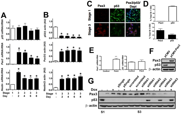 Pax3 negatively regulates p53 protein, but not mRNA levels in ESC just as in mouse embryos. (A) Real time RT-PCR of p53 , Pax3 , and <t>Nestin</t> mRNA in stage 1 (open bars) and stage 3, days 2–8 (solid bars) ESC. Nestin mRNA is expressed in neuroepithelium and in ESC-derived neuronal precursors [29] , [30] and served as a control for a marker of neuroepithelial neuronal precursors. Each mRNA was normalized to <t>rRNA.</t> In (A), (B), and (D) values represent the mean ± SEM (n = 3 culture dishes). *p