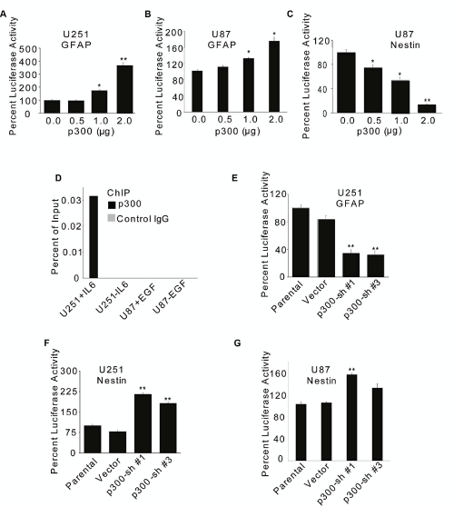 p300 differentially regulates transcription of GFAP and Nestin genes U251 (A) and U87 (B C) cells (1×10 6 ) were transfected with 2 µg GFAP-Luc (A B) or 2 µg Nestin-Luc (C) reporter constructs along with indicated amounts of p300 or empty control vector (A, B C). Luciferase activity was measured at 72 h after transfection. (D) 2×10 6 cells treated with 20 ng/ml of IL-6 or 100 ng/ml of EGF for 30 min and subjected to ChIP using anti-p300 or matched IgG antibodies. p300 occupancy to the GFAP promoter was determined by PCR using radio-labeled primers and product densities plotted as 'percent of input'. U251 (E F) and U87 (G) cells (1×10 6 ) were transfected with two different p300-shRNAs (Sh#1 and Sh#3) or 2 µg empty vector along with 2µg GFAP-Luc (E) or Nestin-Luc (F G) reporter constructs. The promoter/enhancer activity was determined at 72 h posttransfection by luciferase assay. Normalized percent luciferase values are plotted as mean ± SE (n = 3). * and ** indicate p