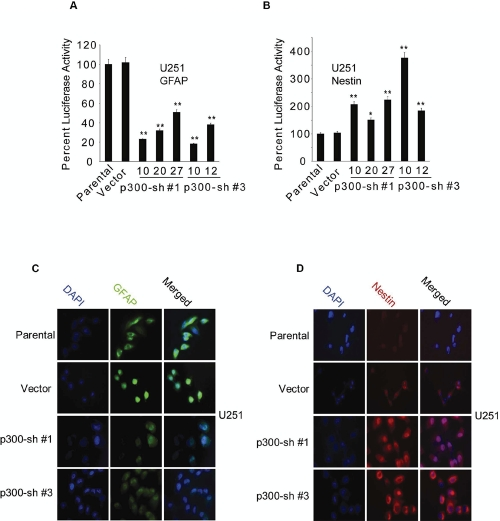 Effect of RNAi-mediated knockdown of p300 on GFAP and Nestin expression. (A B) Five p300-shRNA stable clones (Sh#1-clones: 10, 20 and 27; Sh#3-clones: 10 and 12), one vector control and parental U251 cells (1×10 6 ) were transfected with 2 µg of GFAP-Luc (A), and 2 µg of Nestin-Luc (B). Luciferase activity was measured at 72 h posttransfection and normalized percent luciferase activities were plotted as mean ± SE (n=3) (* and ** indicate p